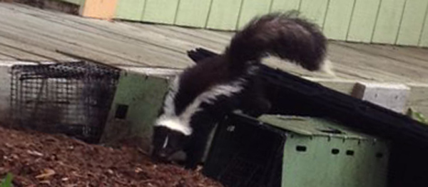 How To Use One Way Exclusion Funnels To Remove Skunks