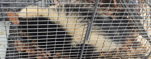 Do mothballs and ammonia help repel skunks?