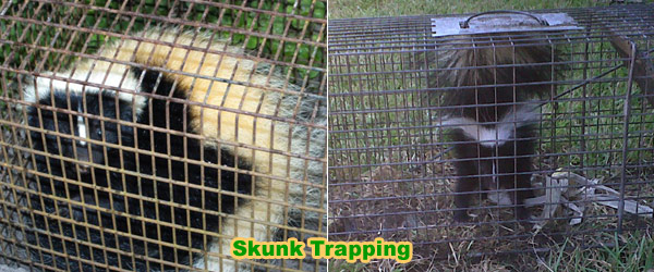 Simple Tips That Make Skunk Removal Charlotte Thorough and Easy