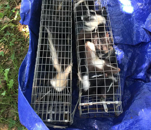 skunk trapping and removal
