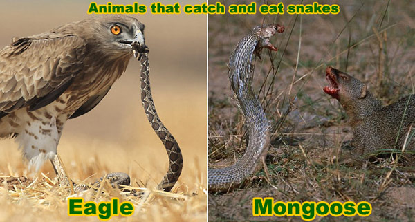 What Animals Kill Snakes