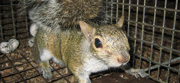 This is arguably the most effective method to remove squirrels from your property. It involves setting a trap cage, baited with inviting food along the ...