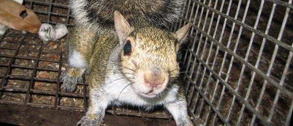 Do Squirrels Kill Mice Rats Or Birds