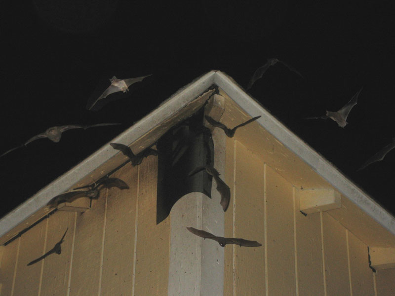 Here S Bats Trying To Get Back Into The Hole Another Small Screen Stapled Wood Block Where Siding Meets Soffit